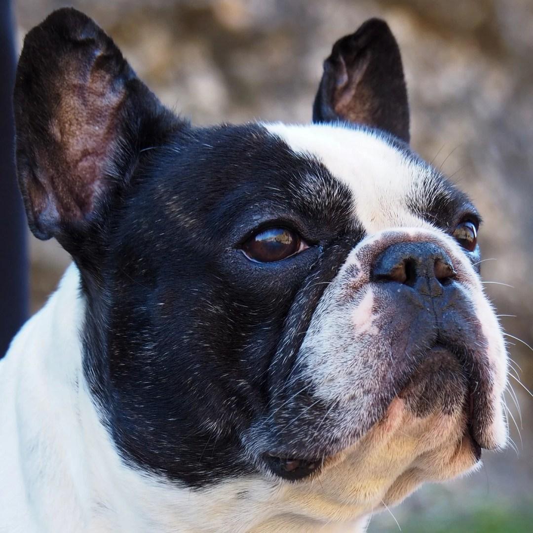 bouledogue-français-chien-préféré-francais-blog-crocandiz