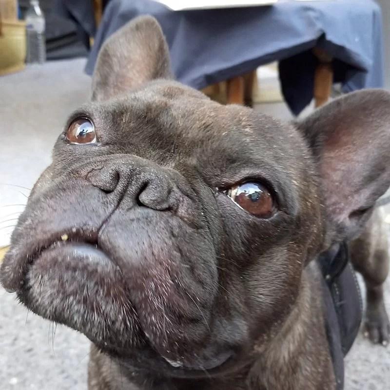 Eliot-bouledogue-stand-crocandiz-biscuit-chien-