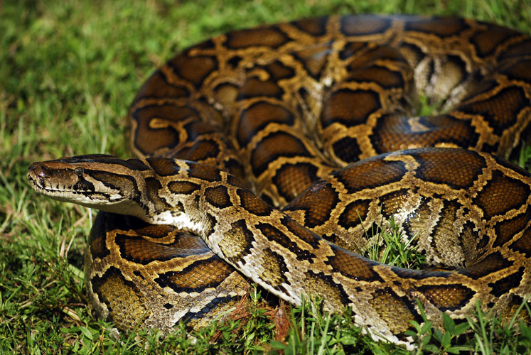 Radiotelemetry and Control of Burmese Pythons   The Croc Docs