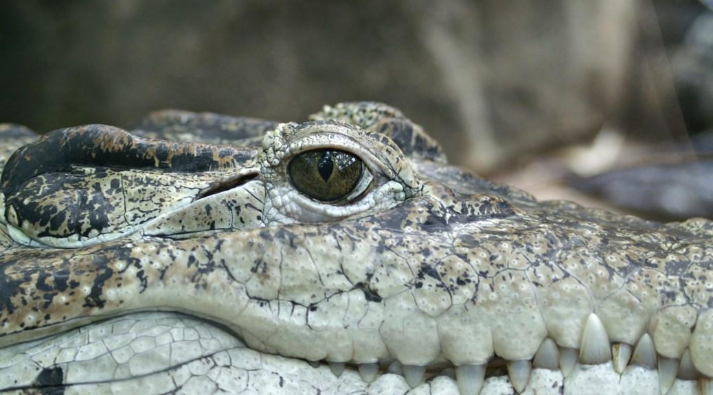 Un crocodile, avec plein de crocs :)