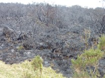 After the fire burns out, what is left is the remains of the burnt gorse.