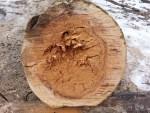 rotting Sechler Park log