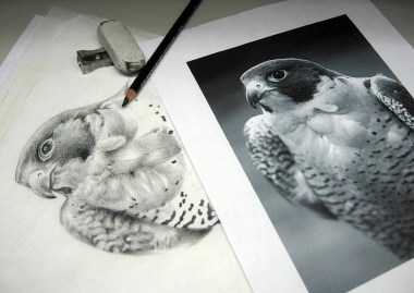 Peregrine Falcon. Pencil crayon on printer paper. 2014