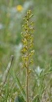 Common Twayblade (Neottia ovata)