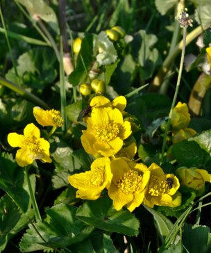 Kingcups
