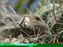 Un Iguane se cache dans un cactus