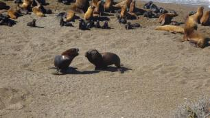Puerto Madryn- Les lions de mer