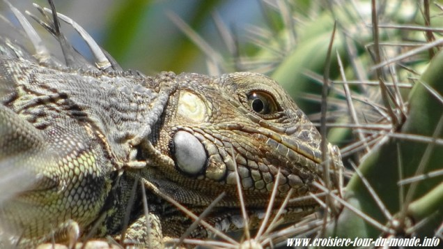 Escale à Oranjestad Aruba un iguane caché dans un cactus