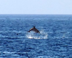 Tursiops truncatus -delfín mular- dándolo todo