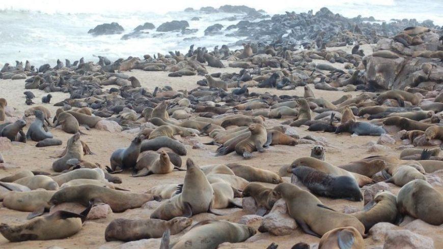Lobos marinos de Cape Cross