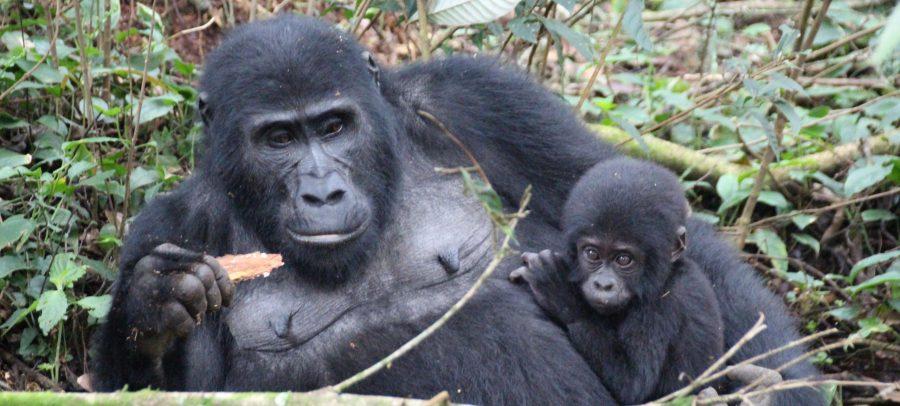 Bwindi Gorilas, Uganda