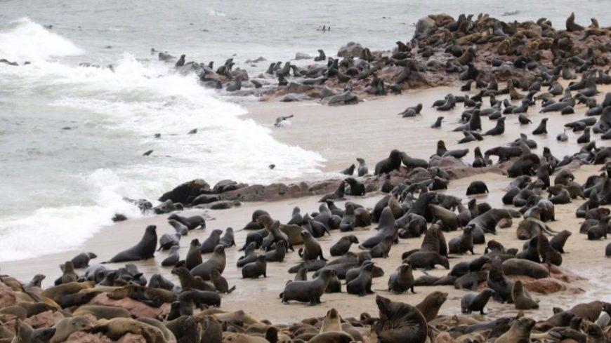 Centenares de lobos marinos frente a la orilla del mar