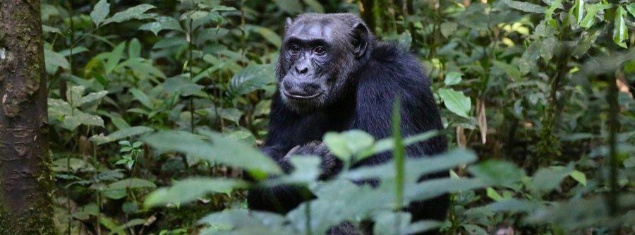 Chimpancé Uganda