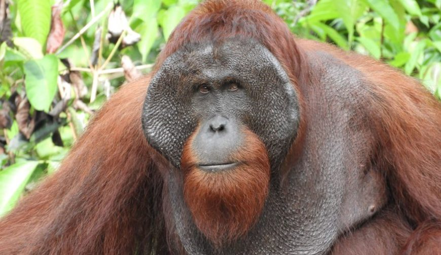 Orangután en Borneo, uno de los mejores momentos de un viaje a Indonesia