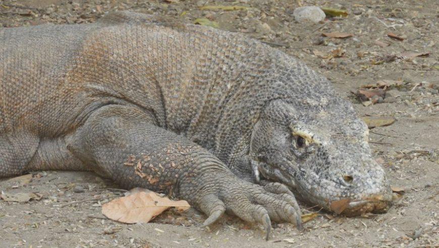 El dragón es el habitante más destacado del Parque Nacional Komodo