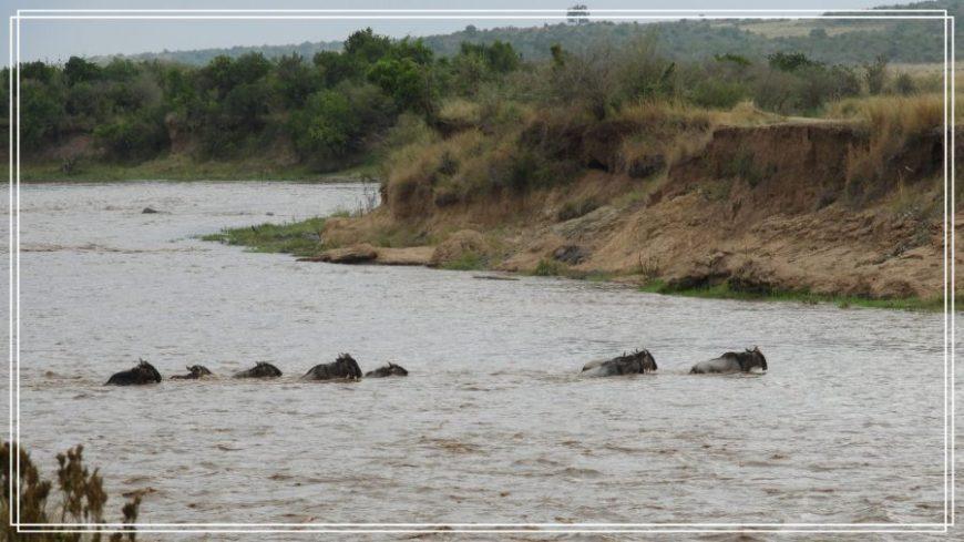 Migración en Masai Mara