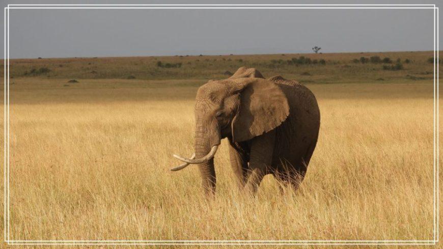 Elefante durante nuestro safari en Kenia
