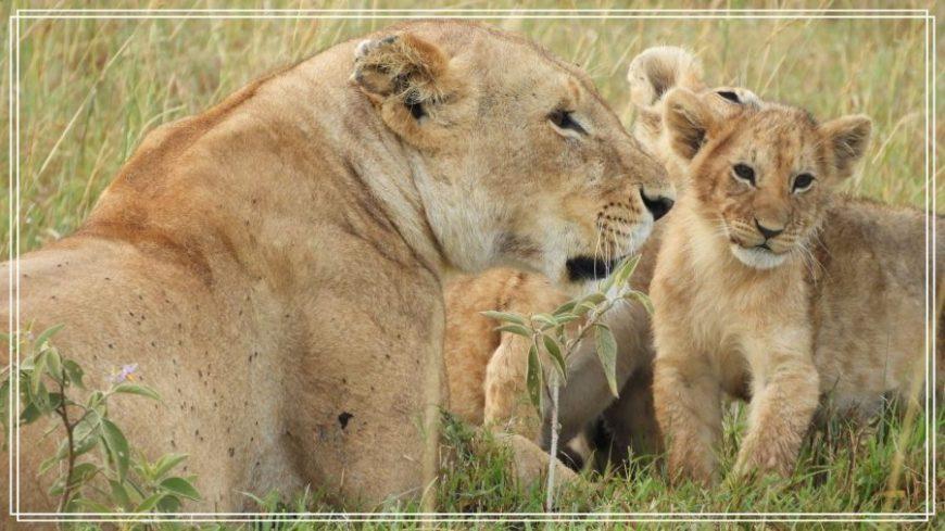 Familia de leona con crías