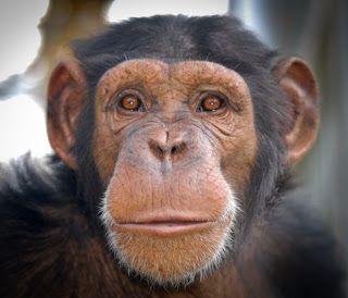 Primer plano de África, una chimpancé de MONA