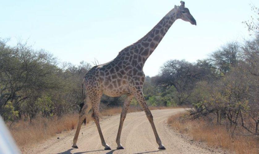 jirafa kruger durante mi viaje por libre a Sudáfrica