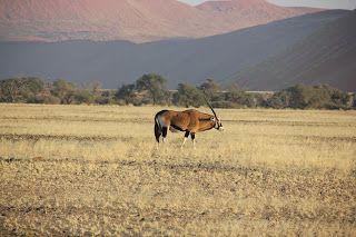 Oryx entre la vegetación con las dunas de fondo, visita al desierto de Namib