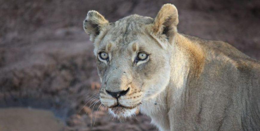 Leon en Kruger, imprescindibles que ver en Sudáfrica