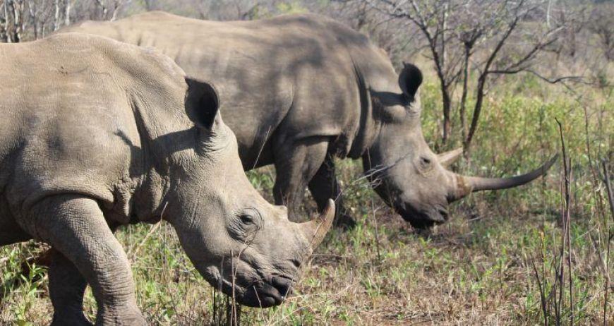 Dos Rinocerontes blancos, Hluhluwe, Sudáfrica