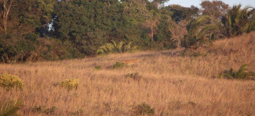 Leopardo lejano en iSimangaliso