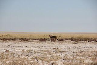 Leó durante nuestra visita a Etosha