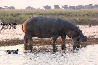 Hipopótamo Chobe NP