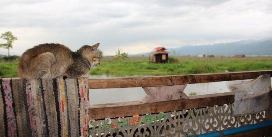 gato birmano, Myanmar