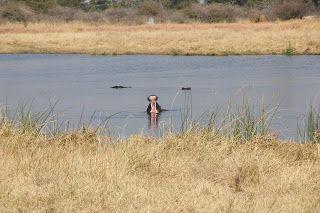 Hipopótamo boca abierto en el safari en Moremi, Delta Okavango
