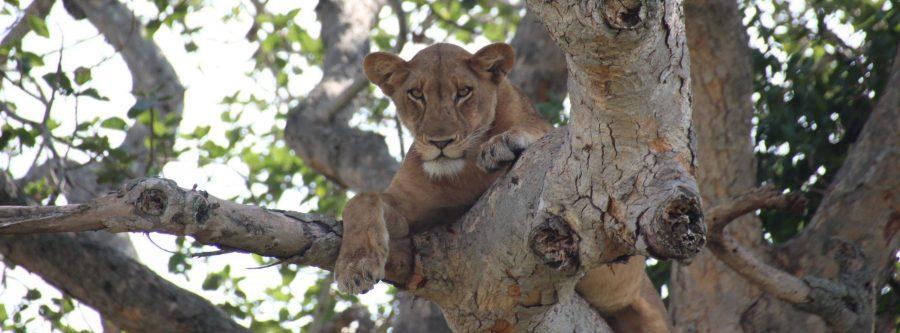 Leona en el árbol en Ishasha, Uganda