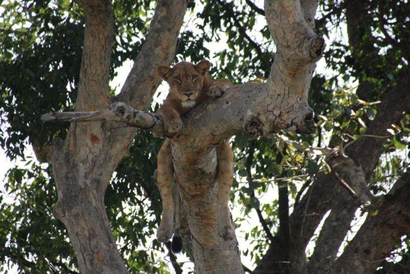 Leona en árbol Ishasha, Uganda