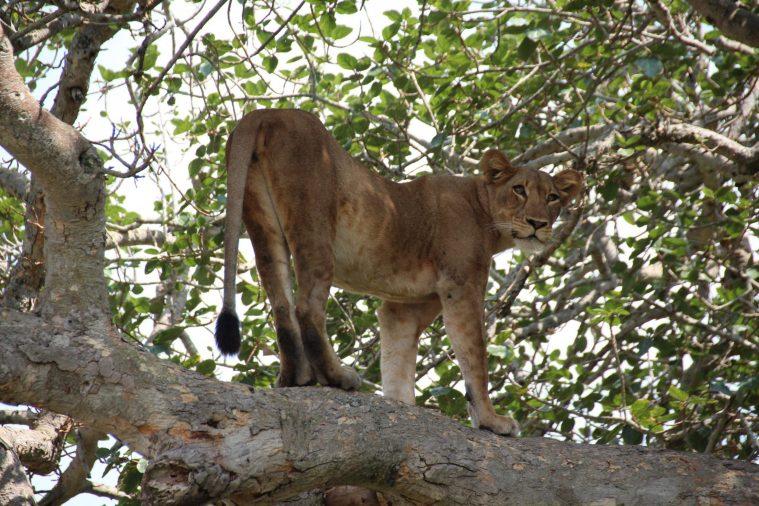 Leona de pide en árbol, Isasha, Uganda