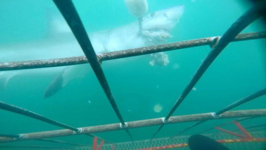 gran tiburón blanco en sudáfrica