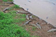 Varios cocodrilos en la orilla del río, a la derecha