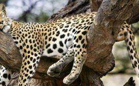 leopardo Kruger