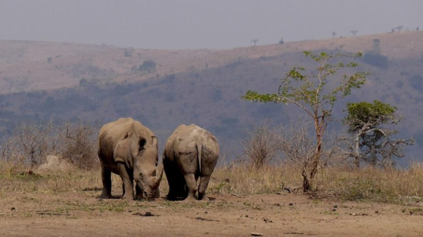 Pareja de rinocerontes en Hluhluwe