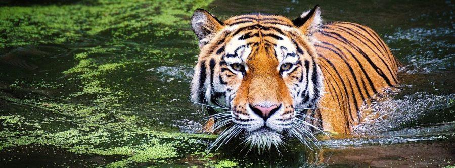Tigre en la India