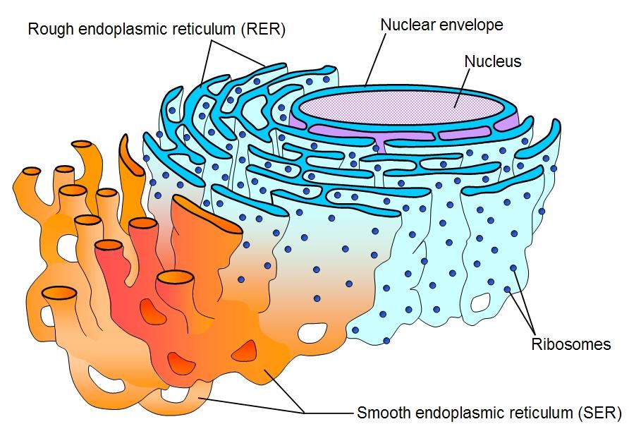 endoplasmic reticulum animal cell diagram swm 32 multiswitch wiring structure