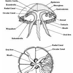 Starfish Anatomy Diagram Ez Go Golf Cart Wiring 48 Volt Raising Pet Jellyfish: October 2011