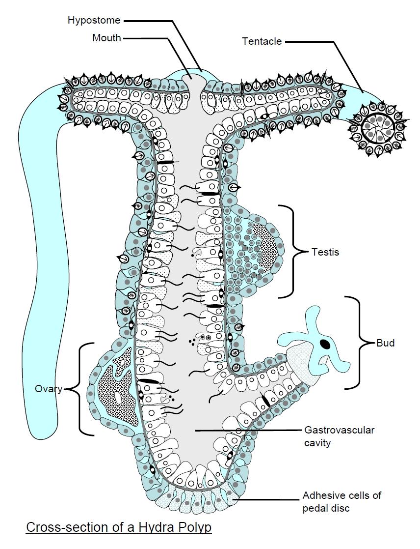 medium resolution of hydra and hydrozoa rh cronodon com rotifer diagram jellyfish diagram