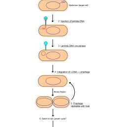 viru lytic cycle diagram [ 2250 x 3000 Pixel ]