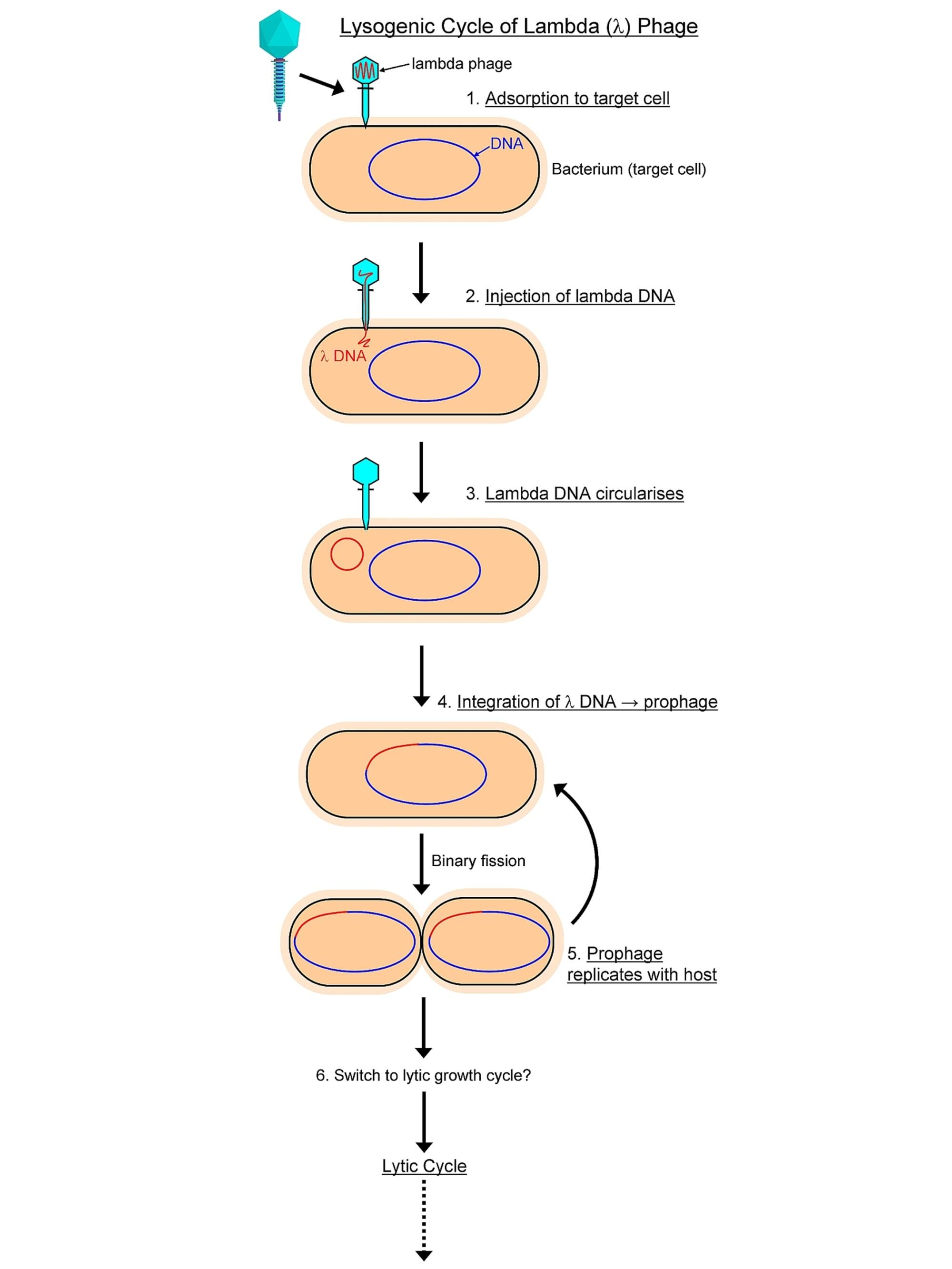 hight resolution of viru lytic cycle diagram