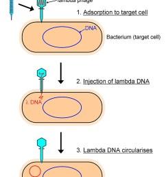 lysogenic cycle part 1 [ 844 x 1125 Pixel ]
