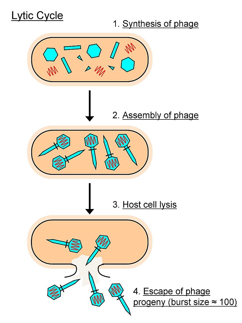 medium resolution of diagram of lytic infection wiring diagrams diagram of lysis wiring diagram used diagram of lytic infection