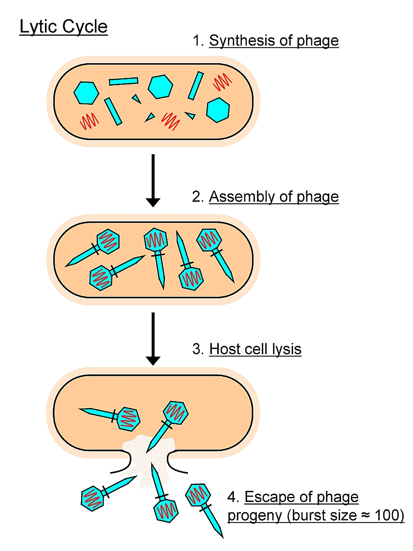hight resolution of diagram of lytic infection wiring diagrams diagram of lysis wiring diagram used diagram of lytic infection
