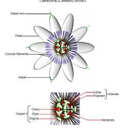passion flower anatomy [ 941 x 1128 Pixel ]