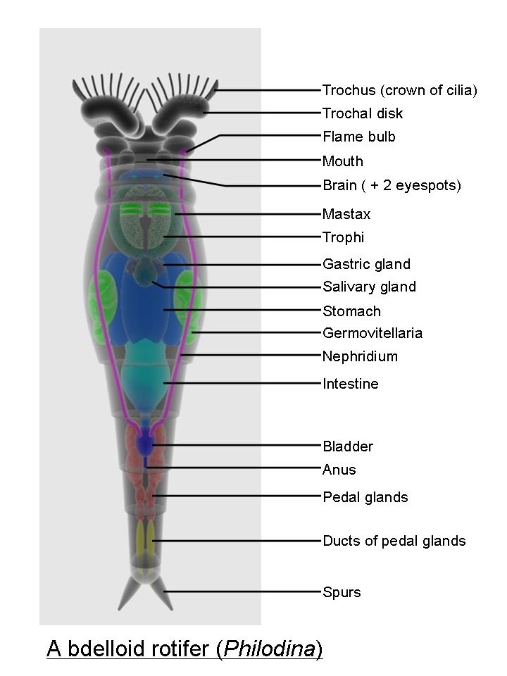 rotifer diagram labeled 2001 saturn sl2 spark plug wiring rotifers